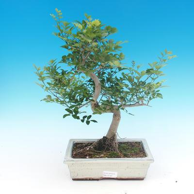 Zimmer Bonsai - Fraxinus uhdeii - room Ash - 1
