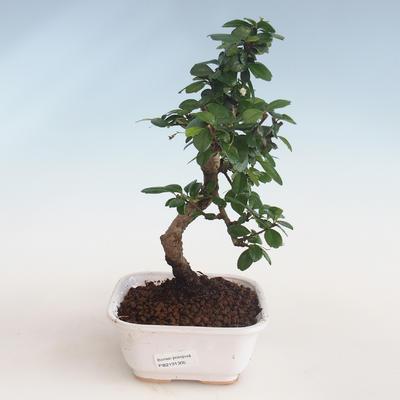 Innenbonsai - Carmona macrophylla - Tee fuki PB2191305 - 1