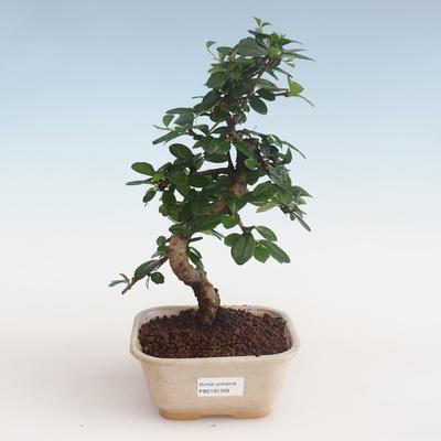 Innenbonsai - Carmona macrophylla - Tee fuki PB2191309 - 1