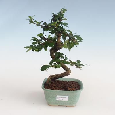 Innenbonsai - Carmona macrophylla - Tee fuki PB2191310 - 1