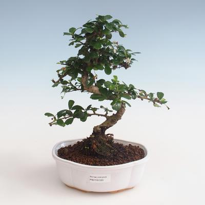 Innenbonsai - Carmona macrophylla - Tee fuki PB2191330 - 1