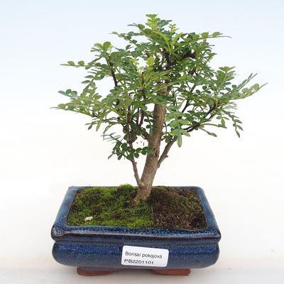 Innenbonsai - Zantoxylum piperitum - Pfeffer PB2201101 - 1