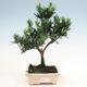 Indoor-Bonsai - Podocarpus - Stein tausend - 1/4