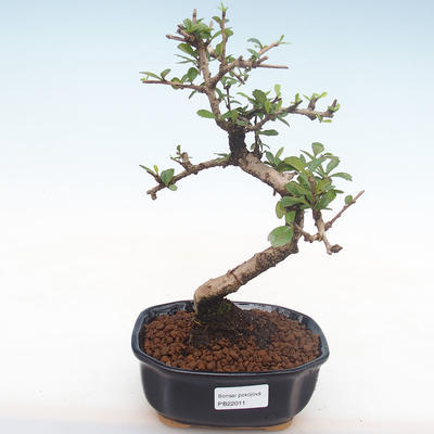 Innenbonsai - Carmona macrophylla - Tee fuki PB2211 - 1