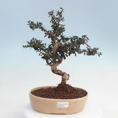 Bonsai-Schale 42 x 33 x 8 cm, graublaue Farbe - 1