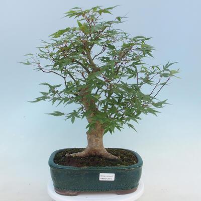Pinus parviflora - Kleinblumige Kiefer VB2020-121 - 1