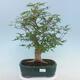 Pinus parviflora - Kleinblumige Kiefer VB2020-121 - 1/3