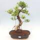 Zimmerbonsai - Ficus kimmen - kleinblättriger Ficus - 1/2