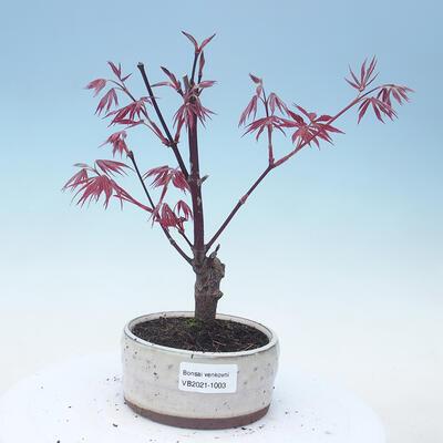 Outdoor Bonsai - Acer Palme. Atropurpureum-rotes Palmblatt - 1