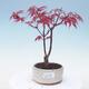 Outdoor Bonsai - Acer Palme. Atropurpureum-rotes Palmblatt - 1/2