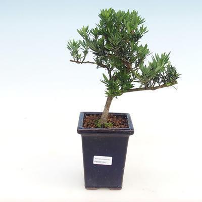 Indoor Bonsai - Podocarpus - Stein Eibe PB2201042