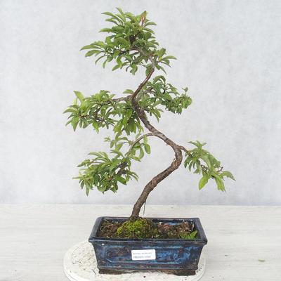 Bonsai im Freien - Prunus spinosa - Schwarzdorn - 1