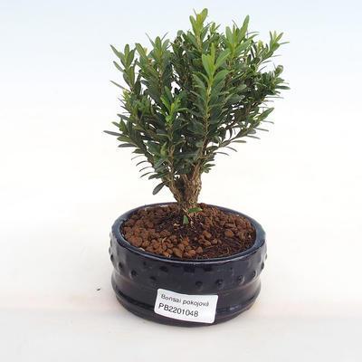 Innenbonsai - Buxus harlandii - Kork buxus PB2201048 - 1
