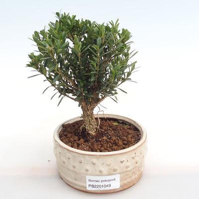 Innenbonsai - Buxus harlandii - Kork buxus PB2201049 - 1