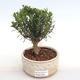 Innenbonsai - Buxus harlandii - Kork buxus PB2201049 - 1/4
