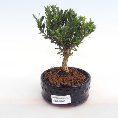 Innenbonsai - Buxus harlandii - Kork buxus PB2201050 - 1