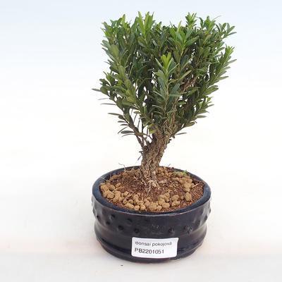 Innenbonsai - Buxus harlandii - Kork buxus PB2201051 - 1