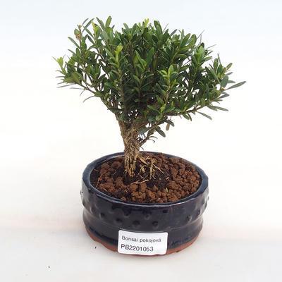 Innenbonsai - Buxus harlandii - Kork buxus PB2201053 - 1