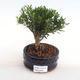 Innenbonsai - Buxus harlandii - Kork buxus PB2201053 - 1/4