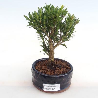 Innenbonsai - Buxus harlandii - Kork buxus PB2201054 - 1