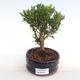Innenbonsai - Buxus harlandii - Kork buxus PB2201054 - 1/4