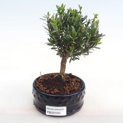 Innenbonsai - Buxus harlandii - Kork buxus PB2201055 - 1