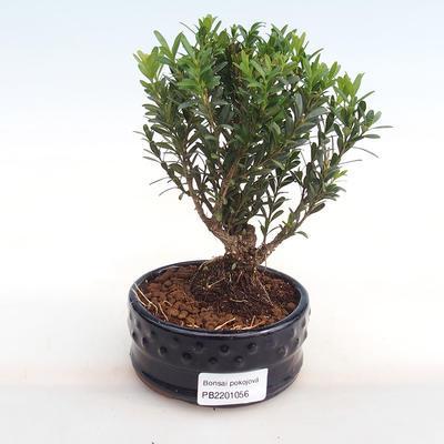 Innenbonsai - Buxus harlandii - Kork buxus PB2201056 - 1