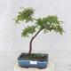 Bonsai im Freien - Prunus spinosa - Schwarzdorn - 1/2