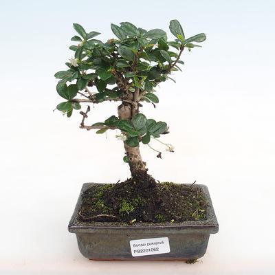 Indoor-Bonsai - Carmona macrophylla - Fuki-Tee PB2201062 - 1