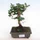 Indoor-Bonsai - Carmona macrophylla - Fuki-Tee PB2201062 - 1/5
