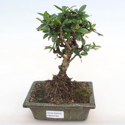 Indoor-Bonsai - Carmona macrophylla - Fuki-Tee PB2201063 - 1