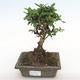 Indoor-Bonsai - Carmona macrophylla - Fuki-Tee PB2201063 - 1/5