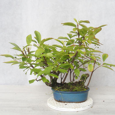 Bonsai im Freien - Vogelkirsche - Prunus Padus - 1