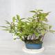 Bonsai im Freien - Vogelkirsche - Prunus Padus - 1/3