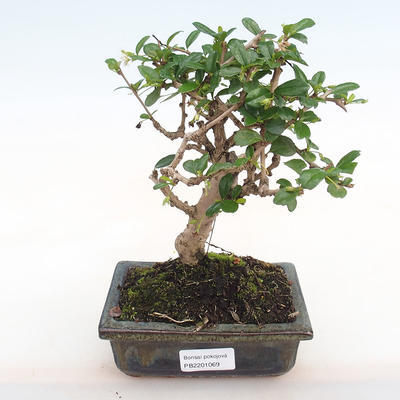 Indoor-Bonsai - Carmona macrophylla - Fuki-Tee PB2201069 - 1