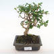 Indoor-Bonsai - Carmona macrophylla - Fuki-Tee PB2201069 - 1/5