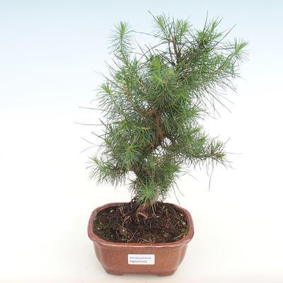 Innen Bonsai-Pinus halepensis-Aleppo Kiefer PB2201070