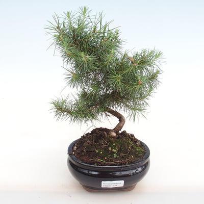 Innen Bonsai-Pinus halepensis-Aleppo Kiefer PB2201071