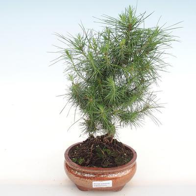 Innen Bonsai-Pinus halepensis-Aleppo Kiefer PB2201073