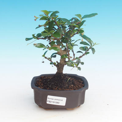 Zimmerbonsai - Carmona macrophylla - Tee fuki - 1