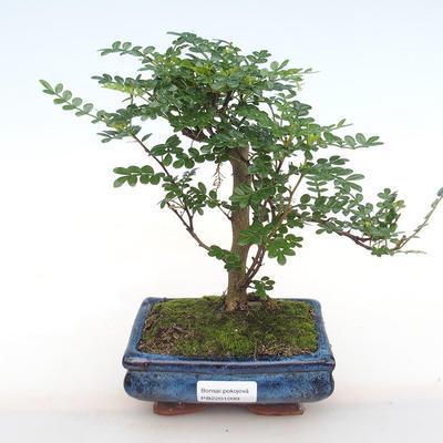 Innenbonsai - Zantoxylum piperitum - Pfeffer PB2201099 - 1