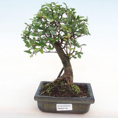 Indoor Bonsai-Ulmus Parvifolia-Kleinblättrige Ulme PB2201105