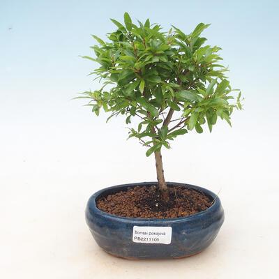 Zimmer Bonsai-PUNICA Granatum Nana-Granatapfel - 1