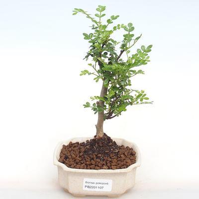 Innenbonsai - Zantoxylum piperitum - Pfeffer PB2201107 - 1
