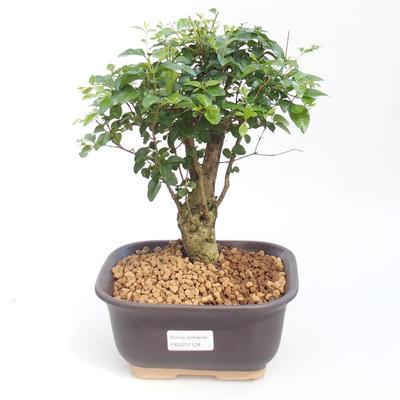 Indoor Bonsai -Ligustrum chinensis - Vogelschnabel PB2201128 - 1