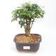 Indoor Bonsai -Ligustrum chinensis - Vogelschnabel PB2201128 - 1/3