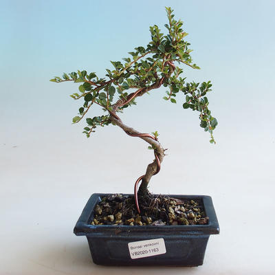 Outdoor Bonsai-Cotoneaster horizontalis-Steingarten - 1