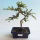 Outdoor Bonsai-Cotoneaster horizontalis-Steingarten - 1/2