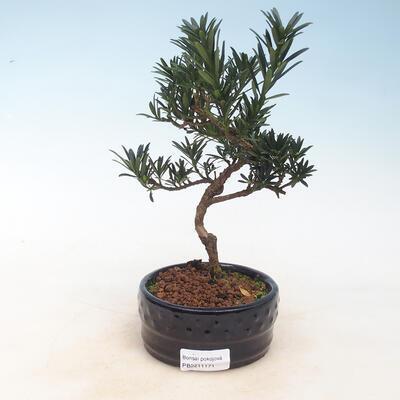 Indoor-Bonsai - Podocarpus - Stein tausend - 1