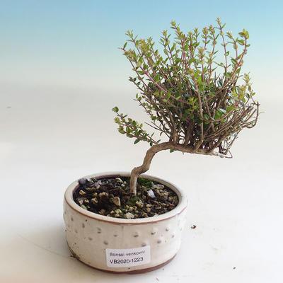 Bonsai-Lonicera nitida-Geißblatt im Freien - 1